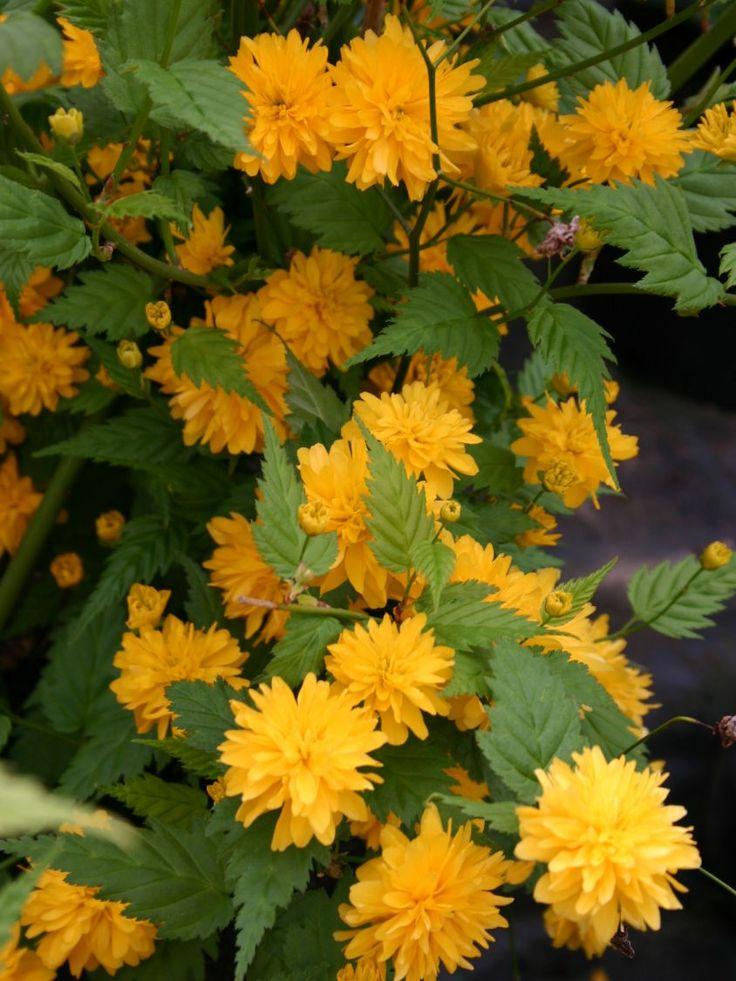 gefüllter Ranunkelstrauch / Kerrie 'Pleniflora' - Kerria japonica 'Pleniflora'