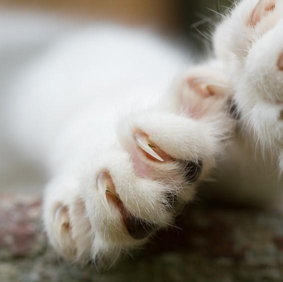 Remover as unhas dos gatos é ruim?. A resposta é sim, remover as unhas a um gato não é nada benéfico para o animal. As garras retráteis fazem parte da sua natureza e precisam delas para caçar, brincar,...