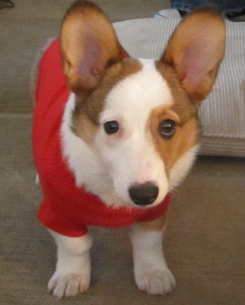 pretty face! :)Corgis Smile, Corgis Friday, Corgis Obsession, Corgis Pictures