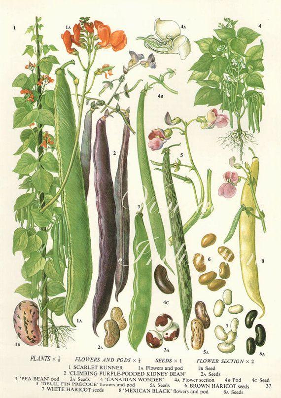Vintage Botanical Print Antique BEANS