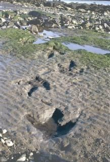 Footprints of a Jurassic Ornithopod dinosaur at Staffin, Skye.