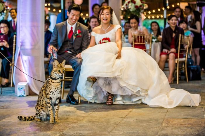 Sweet serval is the guest of honor at this Safari Park wedding.