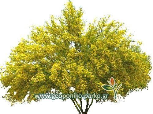 Δέντρα παραθαλάσσιων περιοχών - Δέντρα θάλασσας : Παρκινσόνια δέντρο - PARKINSONIA SP.