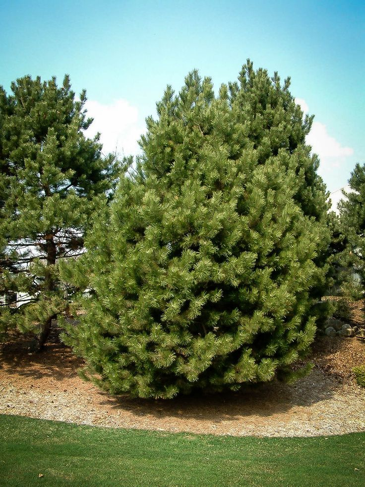 Austrian Black Pine | The Tree Center™