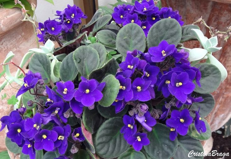 Herbácea, pertence à família Gesneriaceae, nativa da África Tropical, perene, acaule, de 15 a 20 cm de altura e raízes curtas. Folhas em roseta, aveludadas