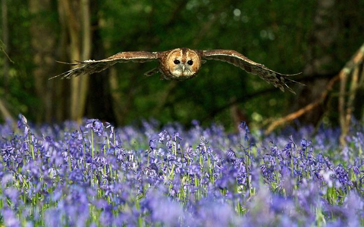 A tawny owl flies over a sea of bluebells at the British Wildlife Centre in Lingfield, Surrey: Wood, British, Tawni Owl, Purple Flowers, Barns Owl, Birds, Photo, Fields, Animal