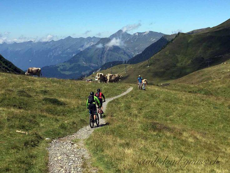 Wanderer, MTB, Kühe teilen sich den Weg. Tipps für den Umgang mit Kühen auf dem Wanderweg.