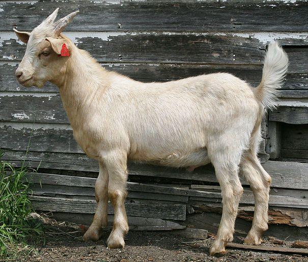 crazycreekranch | Kikos: Homesteader's Goat | Kiko goats, Goats for