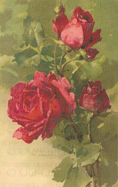 Red Roses by Catherine Klein