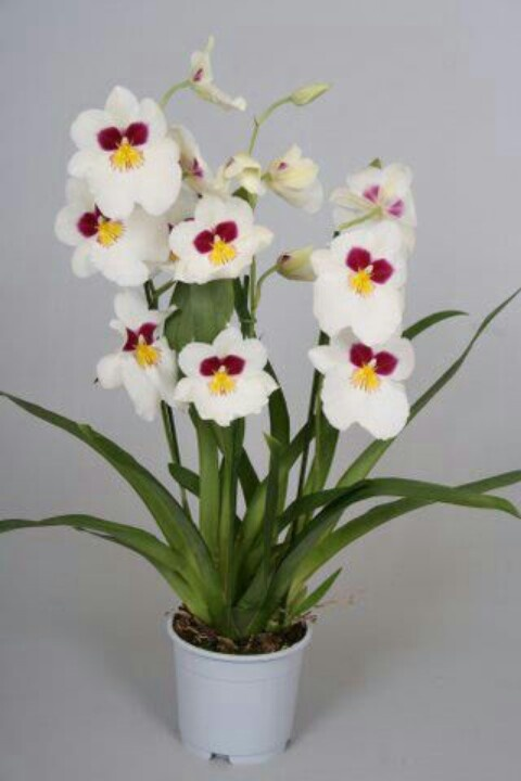 Miltonia is one of the plants that make me happy