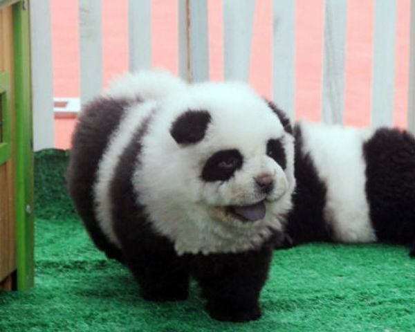 Panda Dogs Black White Chow Chow Pups Gains Popularity In