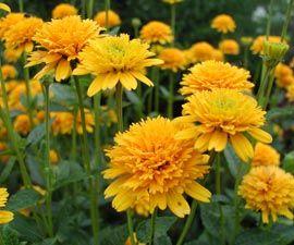 Heliopsis helianthoides var. scabra 'Asahi' - Gefülltes Sonnenauge