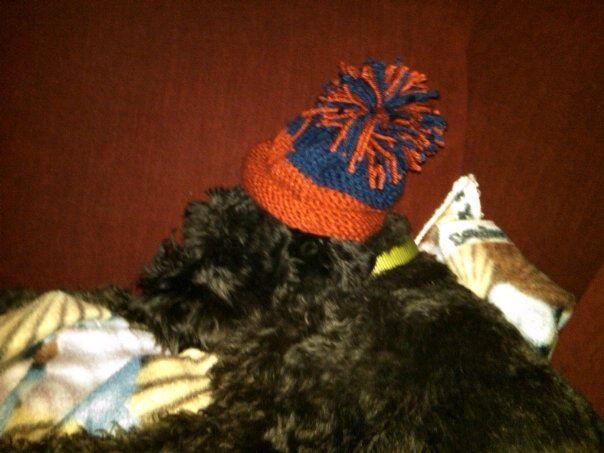 knit Illini baby hat (modeled by schnauzer)