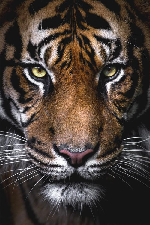 "Tiger portrait. italian-luxury: "" Beauty"""