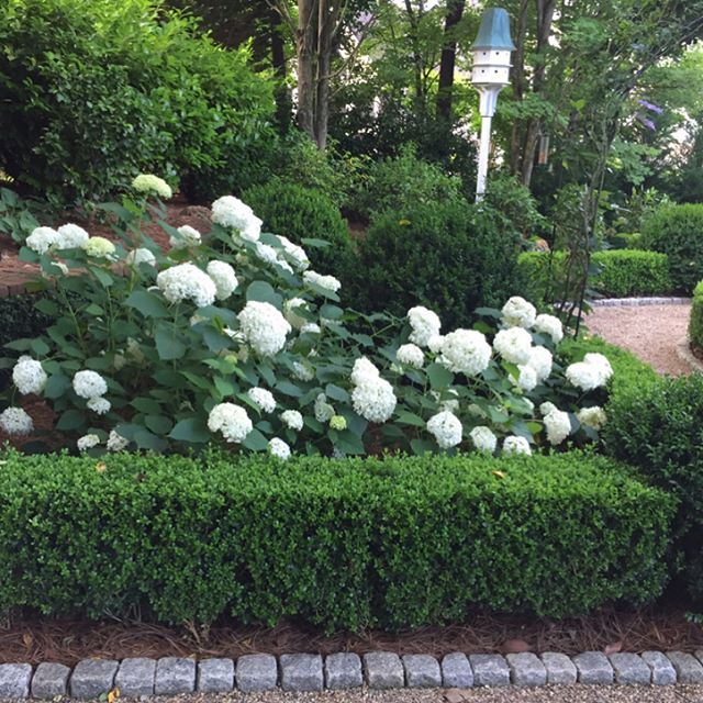 My favorite garden combination: boxwoods and Annabelle hydrangeas. #gardensofthesouth #annabellehydrangea #boxwood