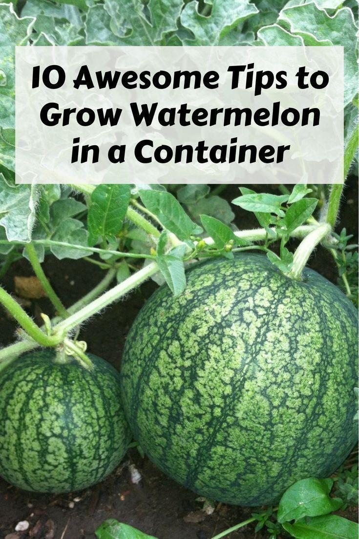 Growing melon - useful tips 63