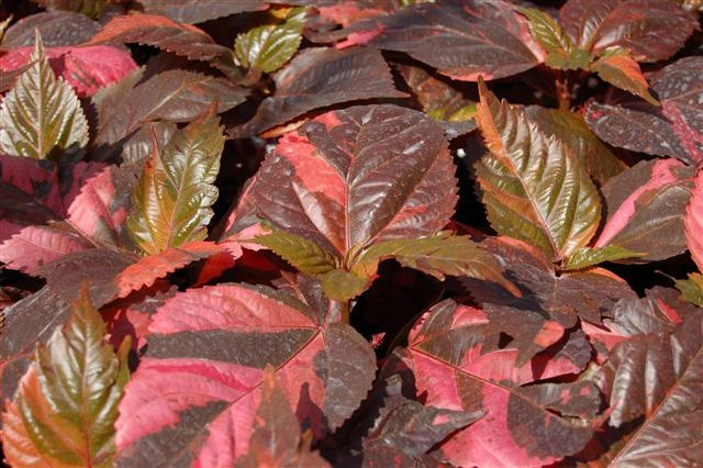 Acalypha Copperhead Hot Hot Hot A Tropical Explosion