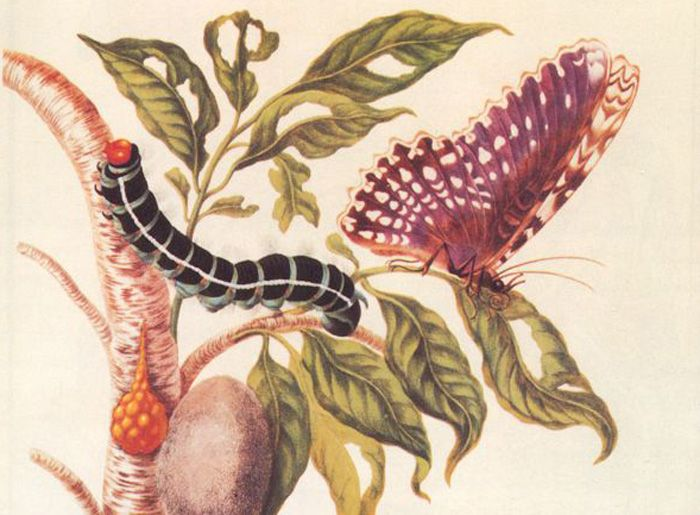 The work of famed German botanist, artist and entomologist Maria Sibylla Merian has been republished after more than 300 years.