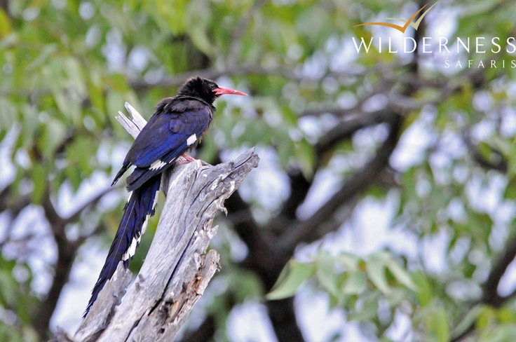 Birdlife around Andersson's Camp within the Ongava Game Reserve is prolific with over 340 species to be seen - amongst them 10 of Namibia's 14 endemic bird species. Specials like Short-toed Rock-Thrush, Bare-cheeked Babbler, Violet Wood-Hoopoe, Carp's Tit, Hartlaub's Francolin, Red-necked Falcon, the Sociable Weaver & its enormous communal nests, the miniature Pygmy Falcon & the brilliantly coloured Crimson-breasted Shrike - are sought-after prizes by birders. #Safari #Namibia…