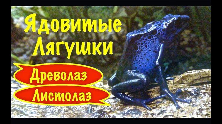 Ядовитые лягушки. Древолазы. Листолазы.