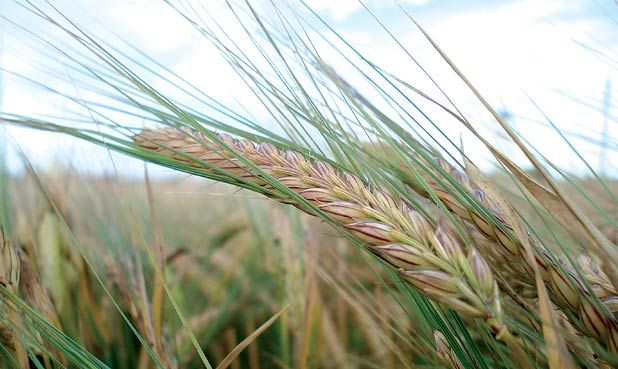 Starches:  Barley is a type of cereal grown in the east of Scotland.  There are two types of barley categorized by when they are cultivated.  One portion size is about one cup.