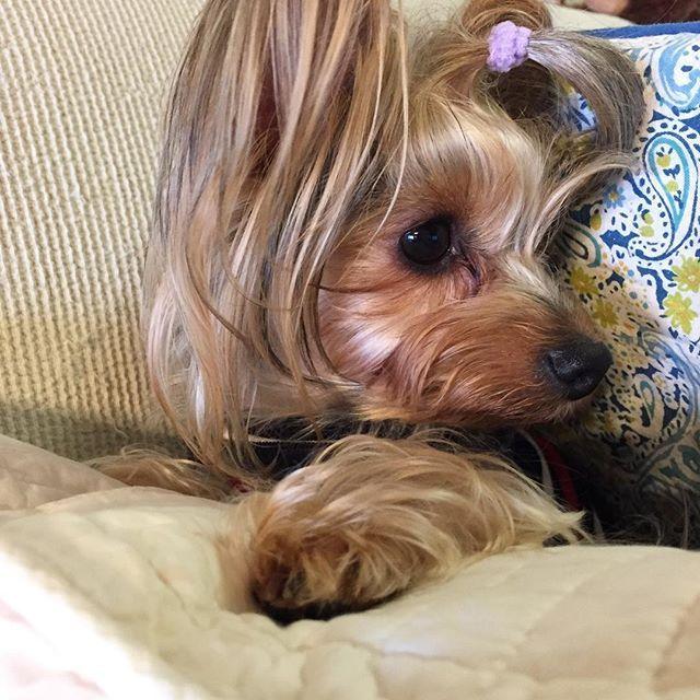 掃除機が苦手なHana。今日はソファーの間に避難中💦  #愛犬 #ヨーキー #yorkie  #Hana #掃除機が怖い #クッションの間に避難中