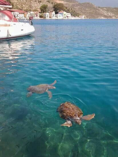 Sea turtles in the port of Kastellorizo, Greece