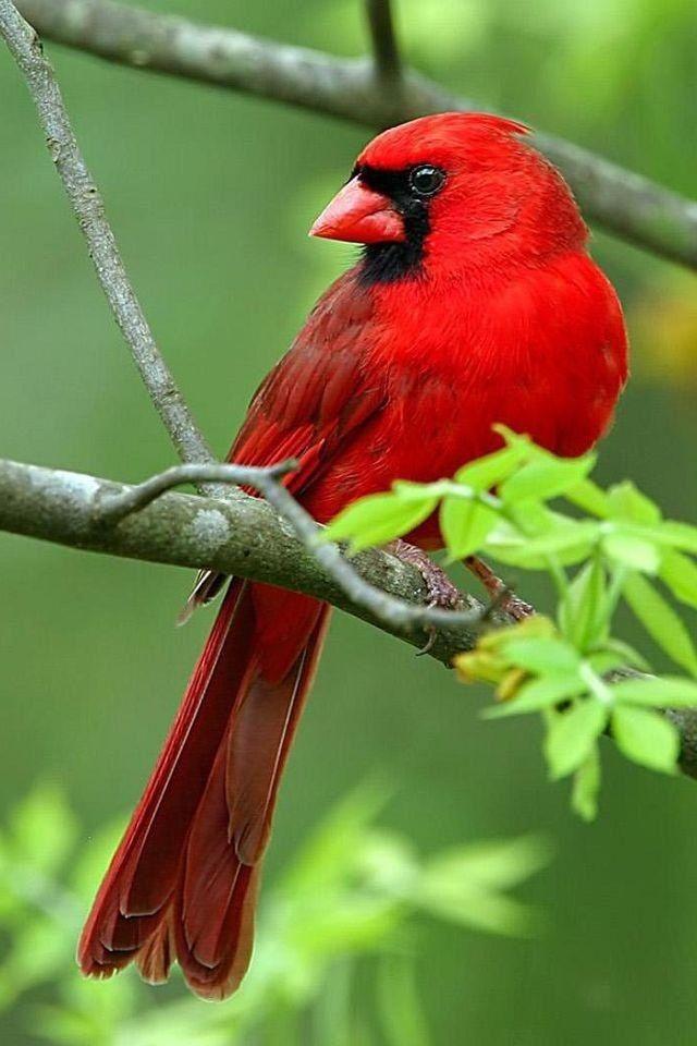 59 Best Cardinal Birds Images On Pinterest Northern
