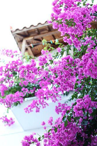 Skopelos bougainvillea