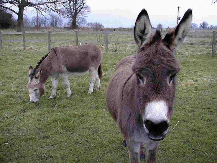 donkey | Donkey Wallpapers | Fun Animals Wiki, Videos, Pictures ...