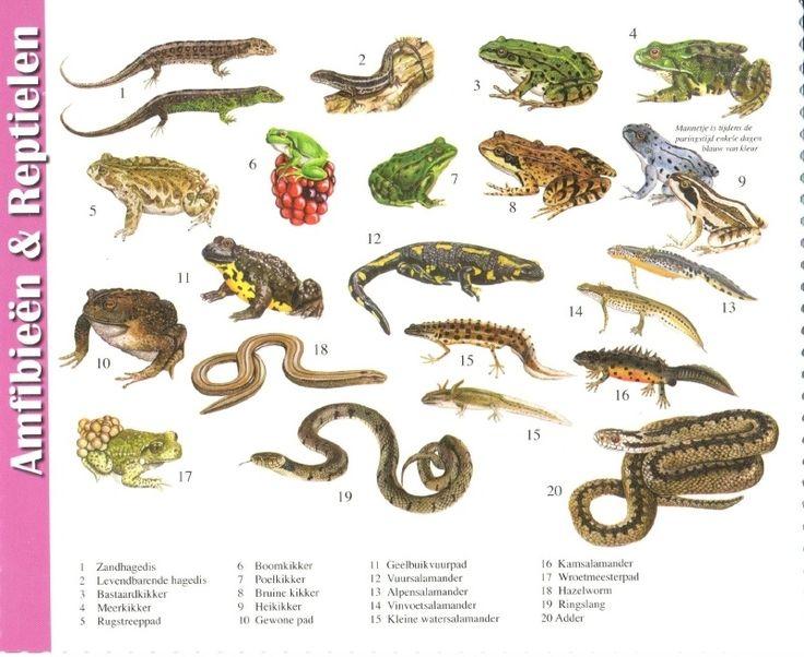 van der Meulen - reptiles and amphibians
