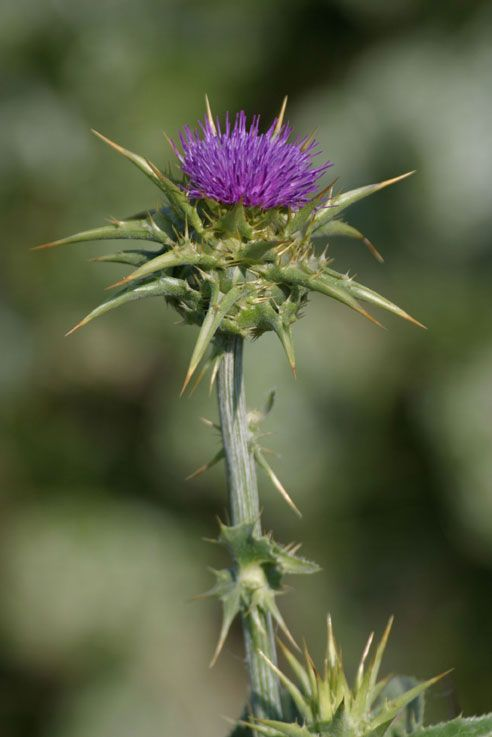 "Milk thistle....this ""weed"" has numerous medicinal benefits including cleansing the liver."