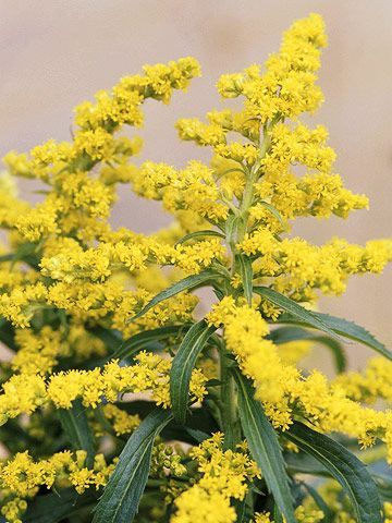 Goldenrod - attracts butterflies and can grow without full sun