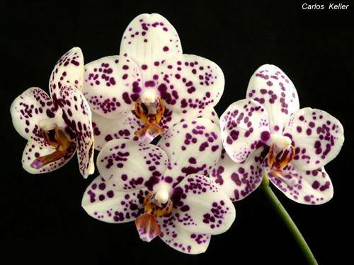 El cuidado de las orquídeas en septiembre phalaenopsis-super-stupid-brother-1.jpg
