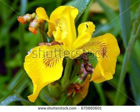 Yellow iris flower with raindrops