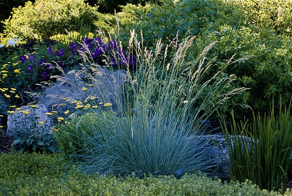 Blue oat grass 18 30 ht shade to partial shade see for Oriental grass for shade