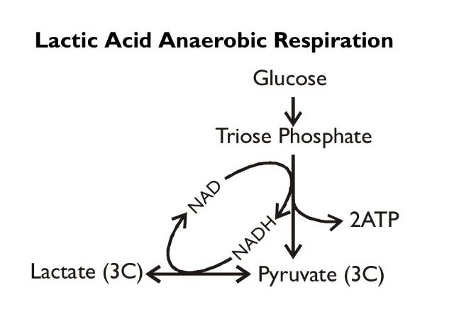 17 best ideas about anaerobic respiration on pinterest