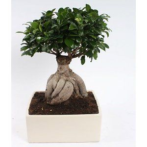 1000 ideas about bonsai ficus on pinterest bonsai. Black Bedroom Furniture Sets. Home Design Ideas