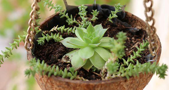 Cascas de coco: reaproveite para fazer vasos | Jardim das Ideias STIHL - Dicas de jardinagem e paisagismo