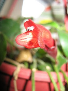 Red Flowering House Plants 93 best unusual houseplants images on pinterest | houseplants