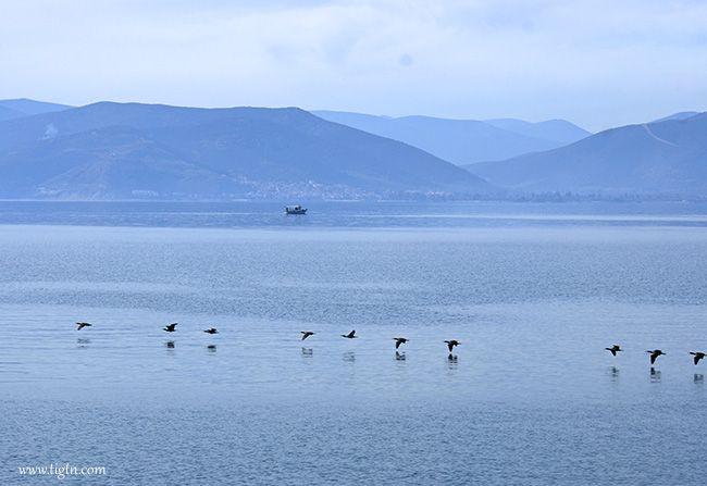 Geese in the #Argolic Gulf, #Nafplio - #Greece