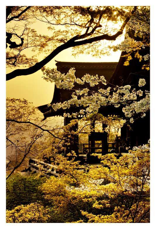 Sakura -cherry blossom colored gold Kiyomizu temple Kyoto Japan