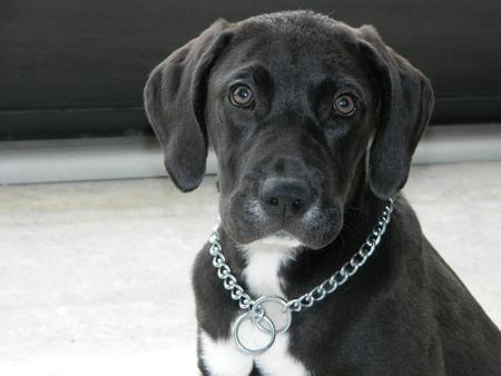 KiKi the Mastiff Mix -- Puppy Breed: Boxer/Mastiff