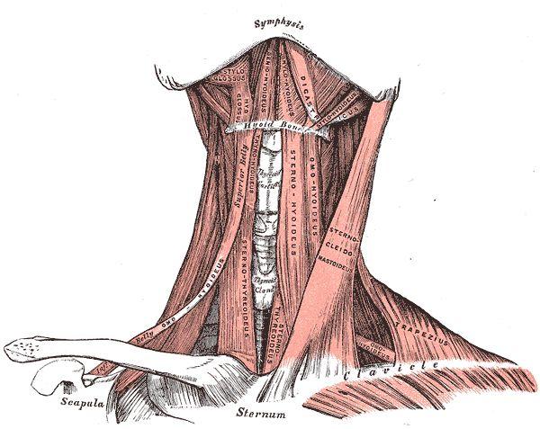 Gray386 - Sternocleidomastoideus – Wikipedia