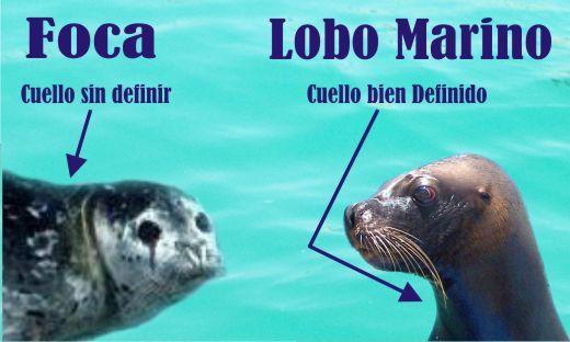 Resultado de imagen para lobo marino