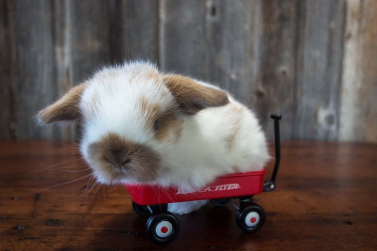 Baby Holland lop in a little wagon.  Hook's Hollands Ohio Holland Lops