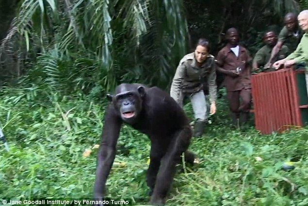 A Chimpanzee Was Released Into The Wild After Treatment. What Happened Next Was Extraordinary.
