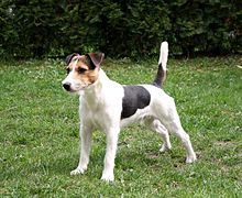 Parson Russell Terrier - require vigorous exercise in order to prevent them from becoming bored and potentially destructive in the home. They can be suited to live with children but as they have a typical Terrier temperament, they will not tolerate rough handling.exuberant, playful and affectionateThey can be playful with other dogs, and get along with horses