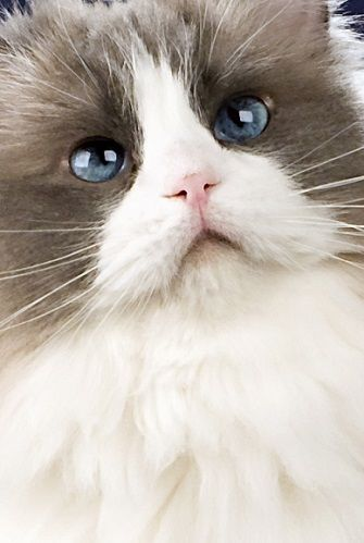 The Ragdoll cat is easily one of the largest domestic cat breeds, and although size is what they are best known for they have a whole lot more to offer.
