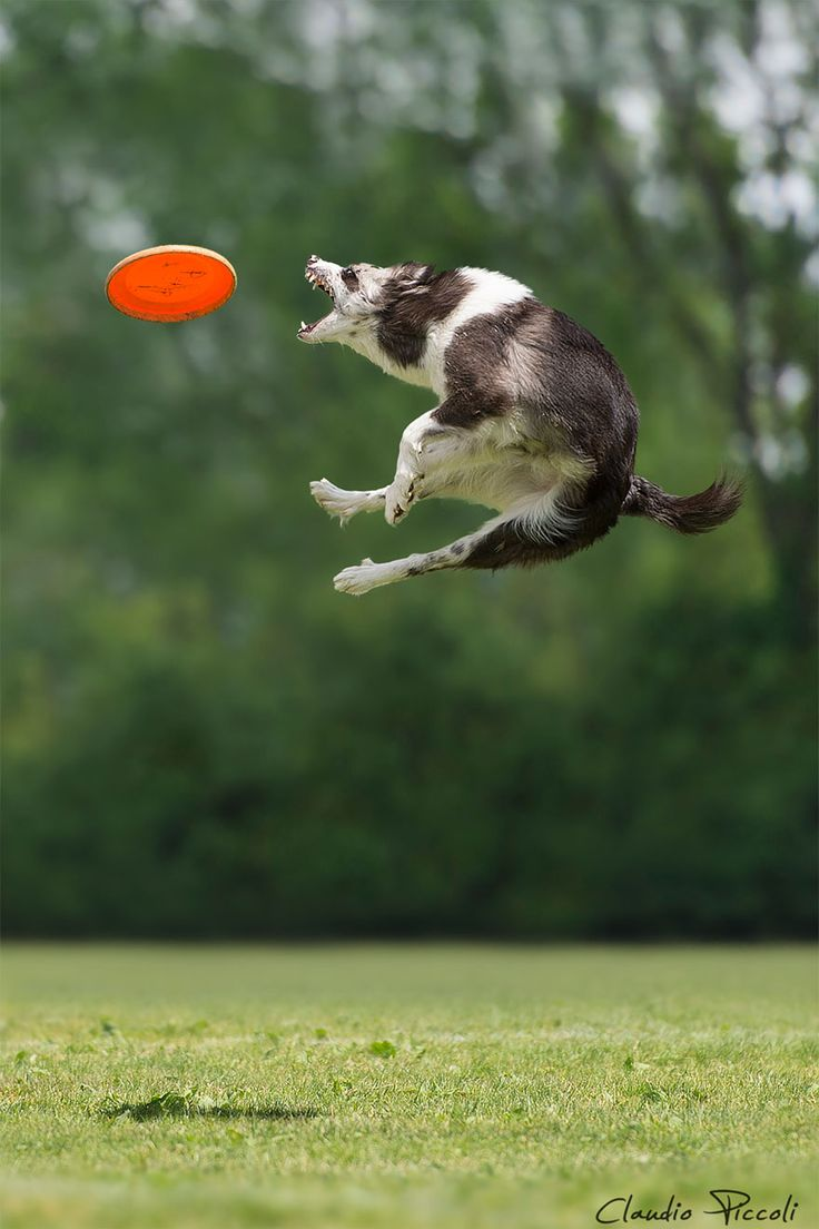 dc71a3df366e97e650c2e849a36157b9 dog stuff fly 46 best dogs can fly images on pinterest doggies, puppys and puppies
